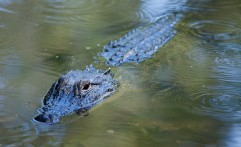 Alligator Swimming